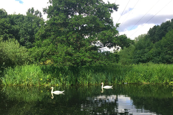 Swans in Colne Valley