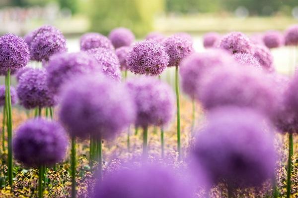 purple-flowers-kew