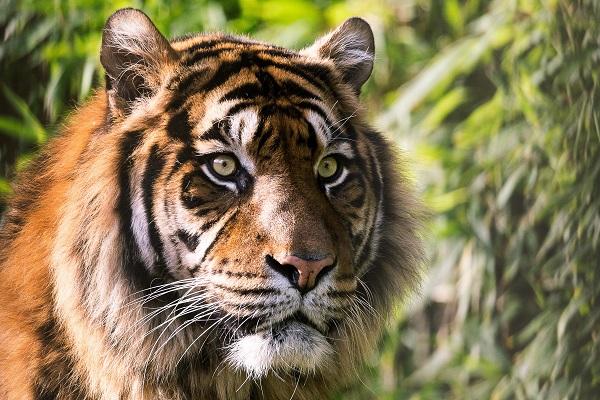 tiger-zoo