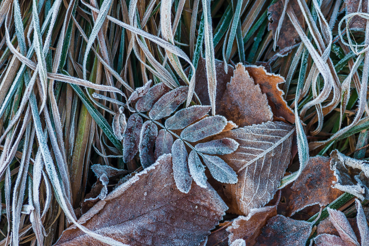 Frosty leaves on the grass