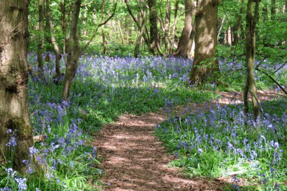 Spring bluebells in a wood in London